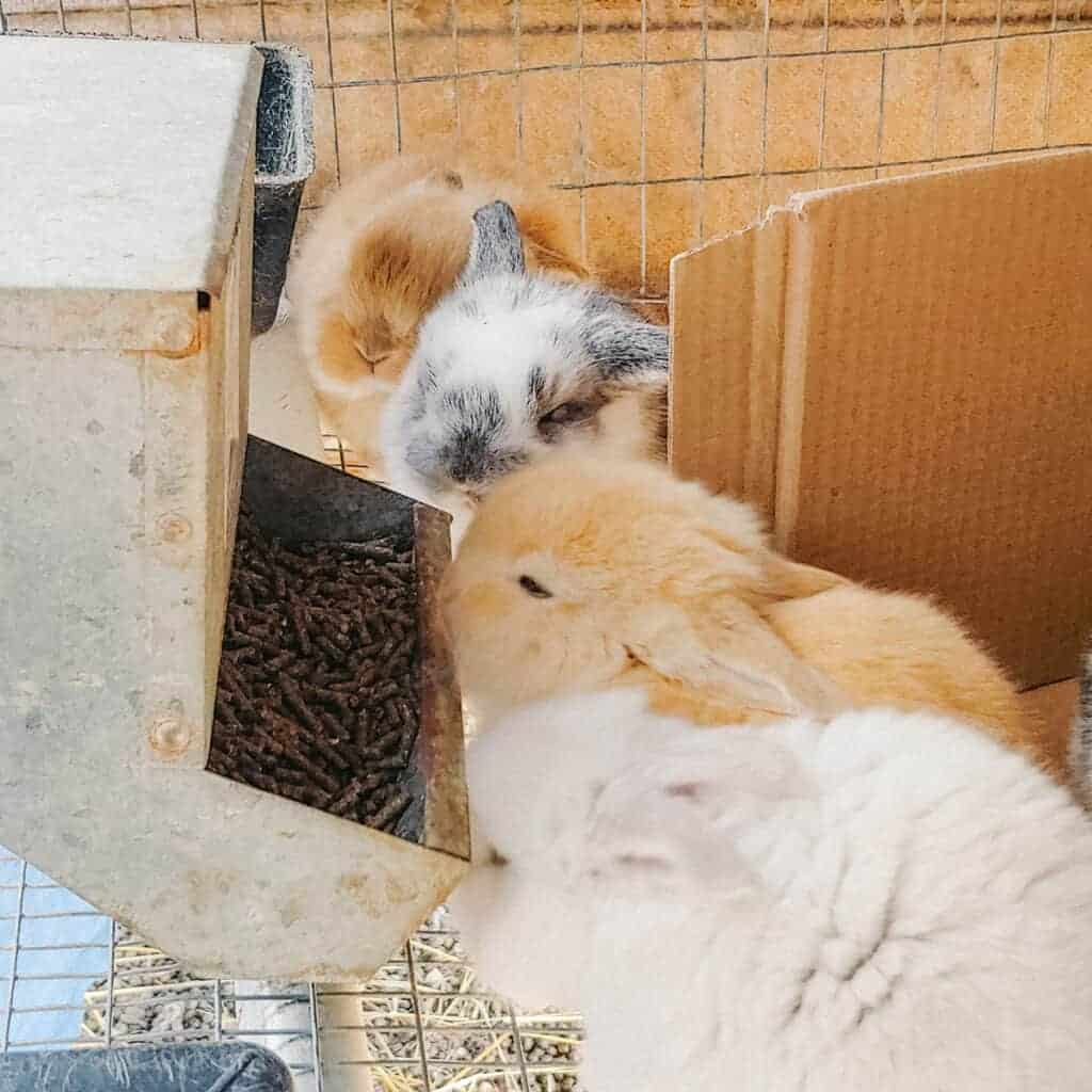 french lop rabbit babies eating