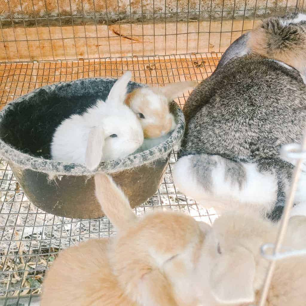 French lop babies sitting in a bowl