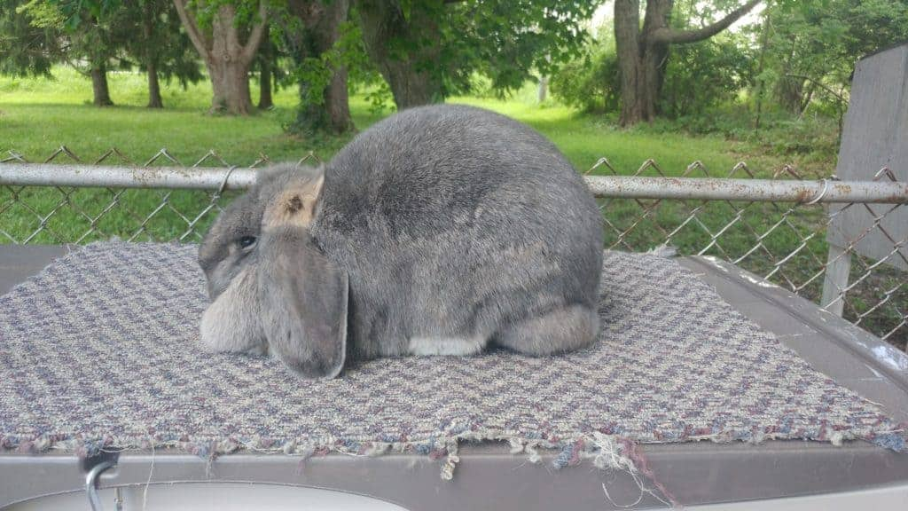 french lop rabbit, outdoor rabbit cage