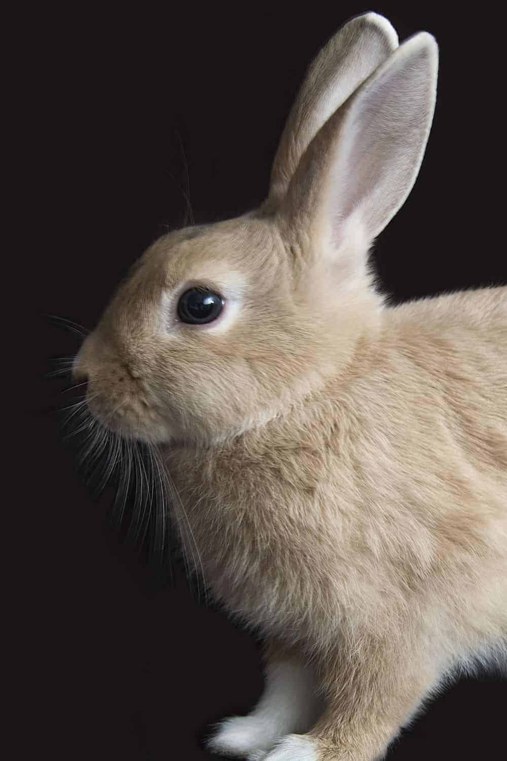 light fawn colored rabbit