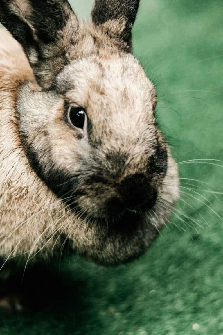 The Best Rabbit Breeding Tips – Step By Step Guide