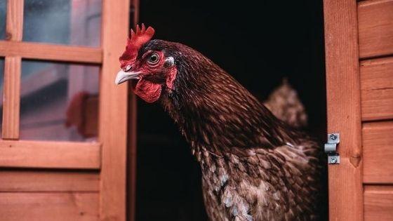 hen in a chicken coop