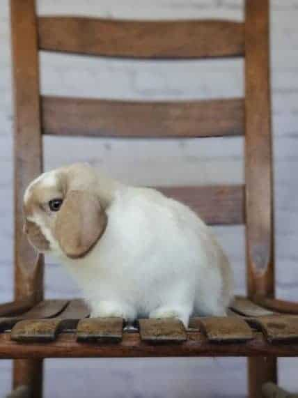 Holland lop rabbit personality