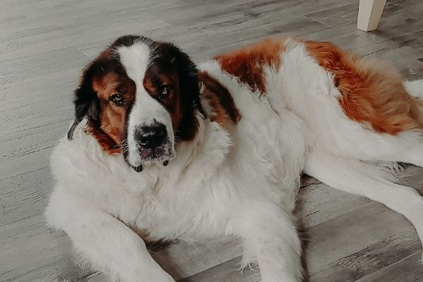 Saint Bernard laying on the floor sheading hair to be swept up by a vacuum cleaner for pet hair.