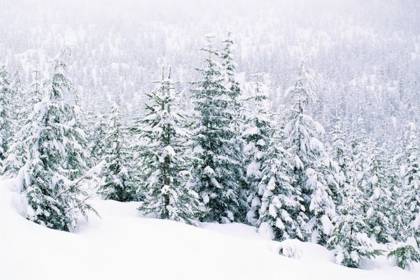 snowy trees in the countryside
