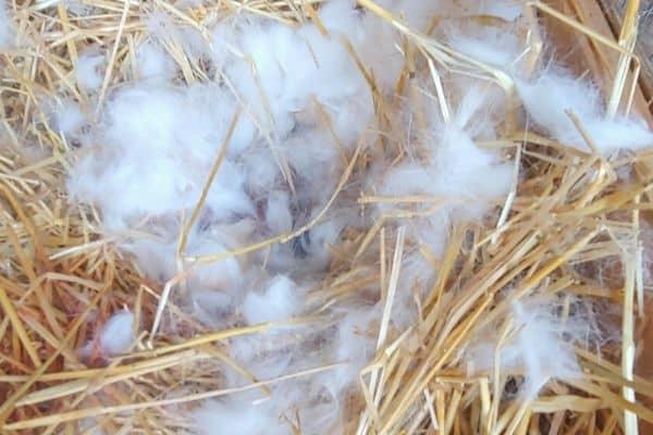 rabbit nest with fur