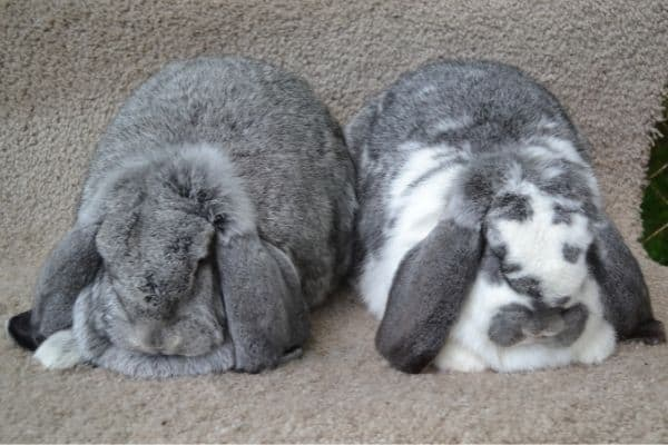 two rabbits not fighting