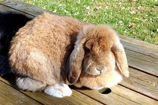 French lop doe sitting on the table. One of the best rabbit breeds as far as temperament goes.