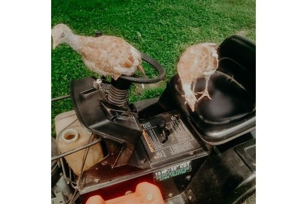 bourbon red turkeys perched on a mower while I am trying to put gas on the tank.