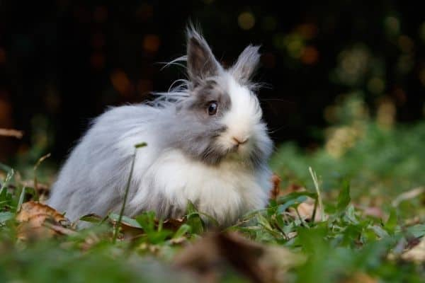 A close representation of the jersey wooly rabbit breed