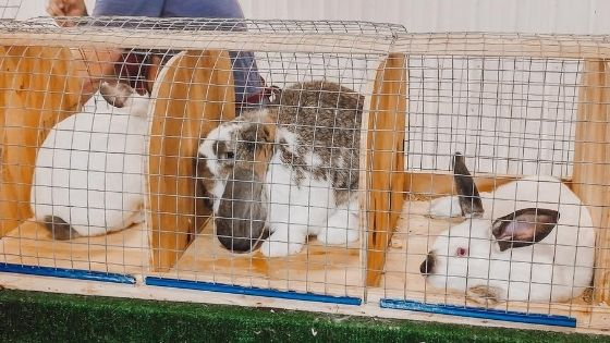 Rabbits on a show table