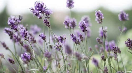 Lavender for rabbits