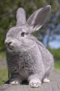 Chinchilla colored meat rabbit