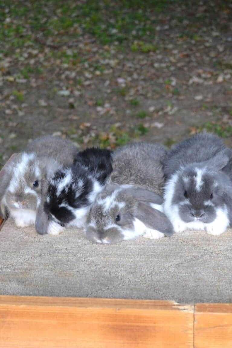 Rabbit Pedigree Beginners Guide – Everything You Need To Know About Rabbit Papers