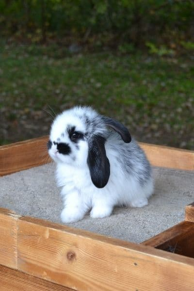 What Makes A Rabbit Show Quality