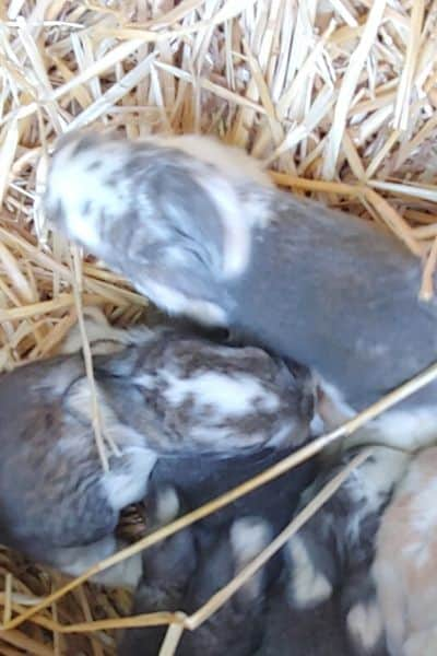 How To Tell If Your Mother Rabbit Is Feeding Her Babies