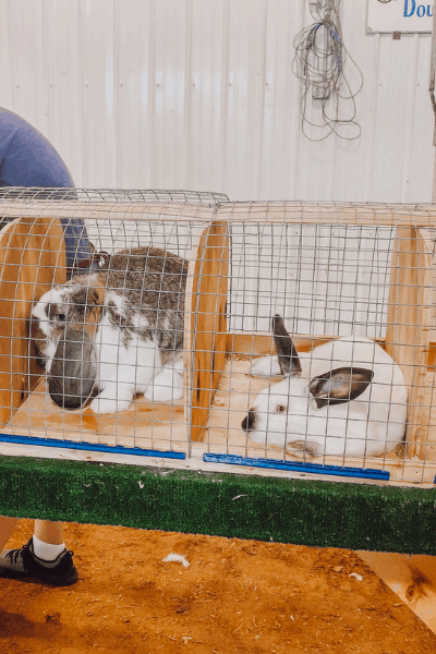 Rabbit Show Etiquette, Do's And Dont's Of The Trade