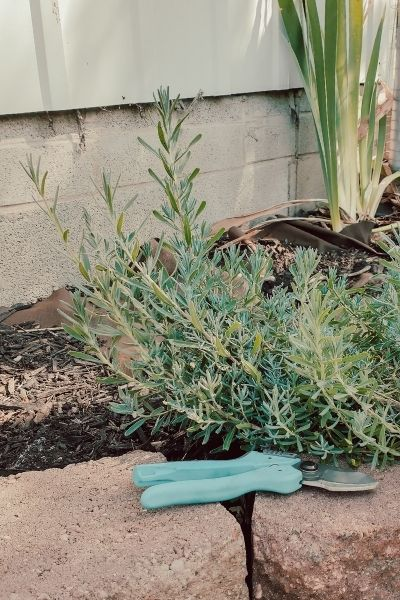 How To Grow Lavender From Cuttings [Propagation The Easy Way]