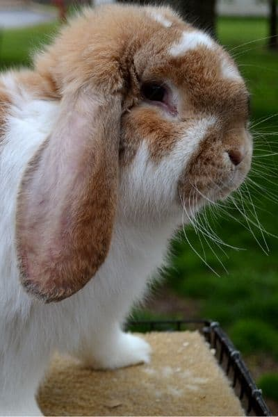 Need Rabbit Abscess Treatment FAST – At Home Treatment Step By Step Guide