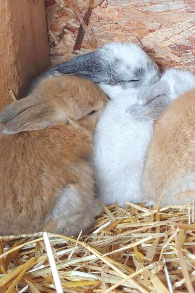 What To Do When Your Rabbit Had Babies Outside The Nesting Box