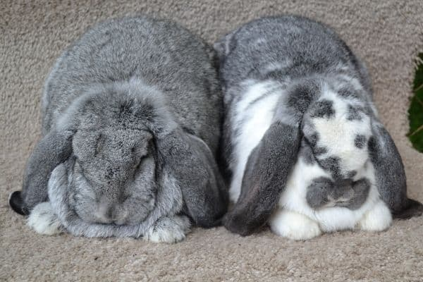 Pair of french lop rabbits