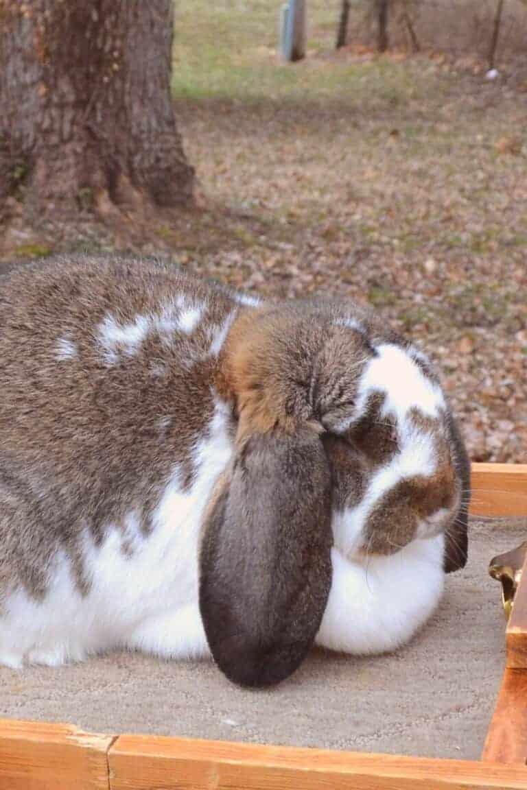 Rabbit Conformation – How To Choose Jr Rabbits