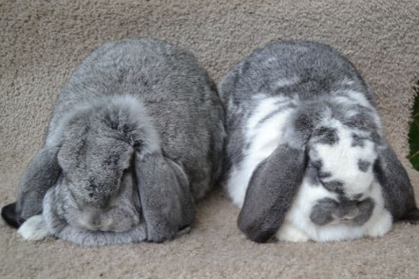 french lop rabbits sitting on a table