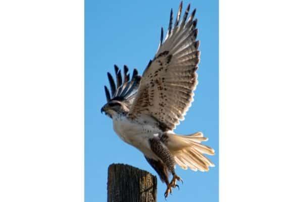 hawk on a post