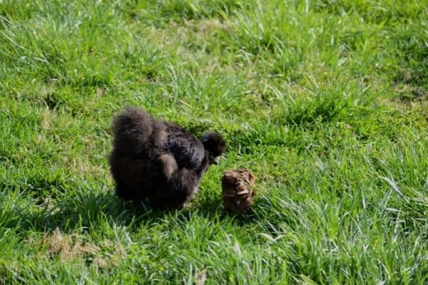 silkie hen walking around they yard with an adopted chick