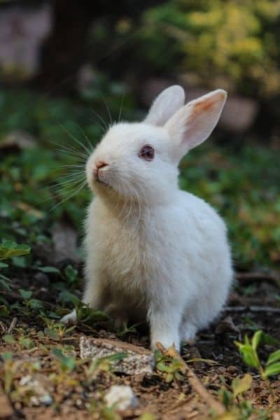 Why Do Rabbits Grunt – [how to read your rabbit]